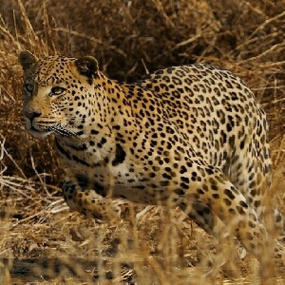 Les léopards conquérants