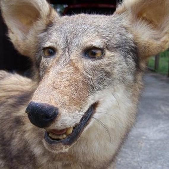 Les Loups du Gemorvan